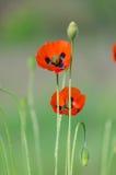 Blomning av de röda lösa vallmo Royaltyfria Foton