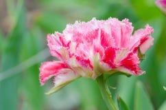 Blomning av den rosa piontulpan Royaltyfri Foto