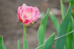 Blomning av den rosa piontulpan Arkivbild