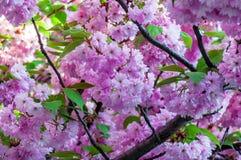 Blomning av det sakura trädet Royaltyfri Fotografi
