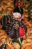 Blomning av en kaktus Arkivbilder