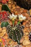 Blomning av en kaktus Royaltyfri Fotografi