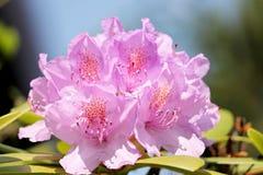 Blomning av en purpurfärgad rhododendron royaltyfri bild
