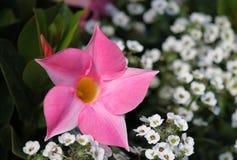 Blomning av en rosa dipladenia Arkivbild