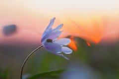Blomning av en wood anemon på solnedgången Royaltyfria Foton