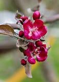Blomning av ett dekorativt äppleträd royaltyfria bilder