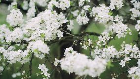 Blomning av ett körsbärsrött träd i en trädgård på våren arkivfilmer