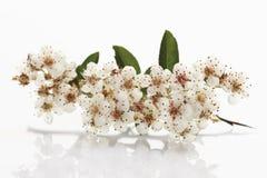 Blomning av firethorn Royaltyfri Bild