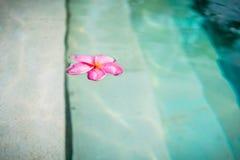 Blomning av Frangipani-blomman som svävar i pöl Royaltyfri Bild