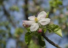 Blomning av fruktträdet Royaltyfria Bilder