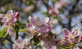Blomning av fruktträdet Royaltyfri Bild