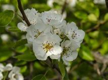 Blomning av fruktträdet Arkivbild