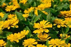 Blomning av guld- ringblommor Royaltyfri Foto