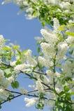 Blomning av häggträdet Royaltyfri Bild