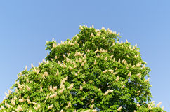 Blomning av horse-chestnuttreen Arkivfoton