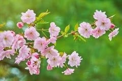 Blomning av körsbäret Royaltyfria Foton