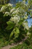 Blomning av körsbäret Arkivfoto