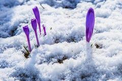 Blomning av lös saffran, krokus som är lös i den tidiga våren, groende av den första snön för grönska från under, Ukraina, Carpat Royaltyfri Bild