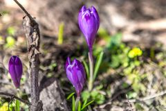 Blomning av lös saffran, krokus som är lös i den tidiga våren, groende av den första snön för grönska från under, Ukraina, Carpat Royaltyfri Foto