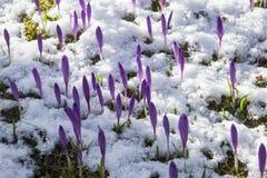 Blomning av lös saffran, krokus som är lös i den tidiga våren, groende av den första snön för grönska från under, Ukraina Carpath Royaltyfri Bild