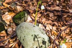 Blomning av lös saffran, krokus som är lös i den tidiga våren, groende av den första snön för grönska från under, Ukraina Carpath Royaltyfri Fotografi