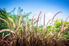 Blomning av lilagräs Arkivbild
