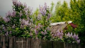 Blomning av lilan i natur stock video