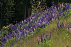 Blomning av lupin vid skogen Royaltyfria Foton
