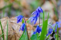 Blomning av mörkret - blåa primulor Royaltyfria Bilder
