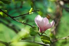 Blomning av magnoliaträdet Härlig rosa magnoliablomma på naturlig abstrakt mjuk blom- bakgrund Royaltyfri Fotografi