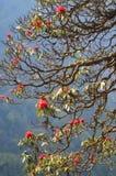 Blomning av rhododendronträd Arkivbilder