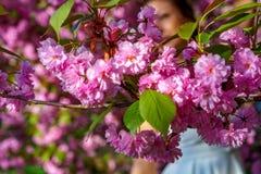 Blomning av rosa blommor av sakura i trädgården i solig vårdag med konturn av kvinnan i den vita klänningen på bakgrunden royaltyfri foto