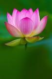 Blomning av rosa lotusblomma Fotografering för Bildbyråer