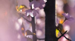 Blomning av Sakura, en japansk blomningkörsbär, i en solig morgon arkivbild