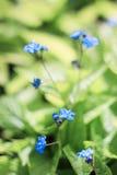 Blomning av små blåa blommor Fotografering för Bildbyråer