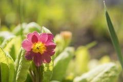 Blomning av vårblommor - primulajuliae Fjädra det blom- landskapet för closeupen, naturlig blom- bakgrund Royaltyfri Bild