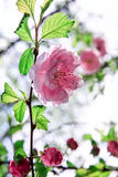 Blomning av vårträdet Fotografering för Bildbyråer