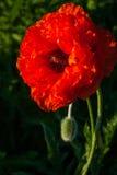 Blomning av vallmo Royaltyfria Foton
