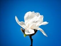Blomning av vita rhododendroner Arkivbilder