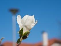 Blomning av vita rhododendroner Arkivfoton