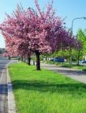 Blomning Cherry Blossom Tree Arkivbilder