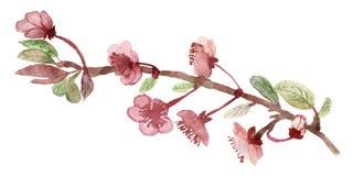 Blomning eller Sakura för härlig vattenfärg körsbärsröd i vår isolerade filialer och rosa blommor på vit bakgrund stock illustrationer