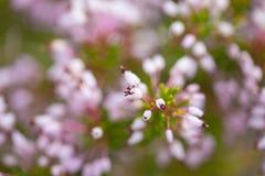 Blomning Erica arkivbild