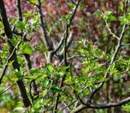 Blomning för Apple träd arkivbild