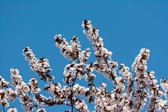 Blomning för Apple träd Royaltyfri Foto