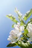Blomning för Apple träd Arkivfoton