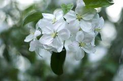 Blomning för Apple träd, sprigetid, makro Arkivfoto