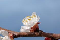 Blomning för aprikosträd Royaltyfri Bild
