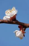 Blomning för aprikosträd Royaltyfri Fotografi