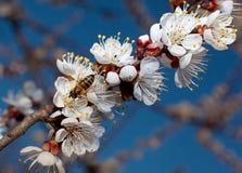 Blomning för aprikosträd Arkivbilder